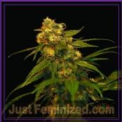 DNA Genetics Lemon OG Kush feminized cannabis seeds uk